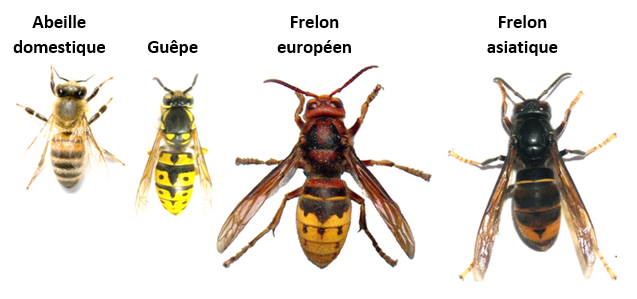Frelons abeille guepe legende